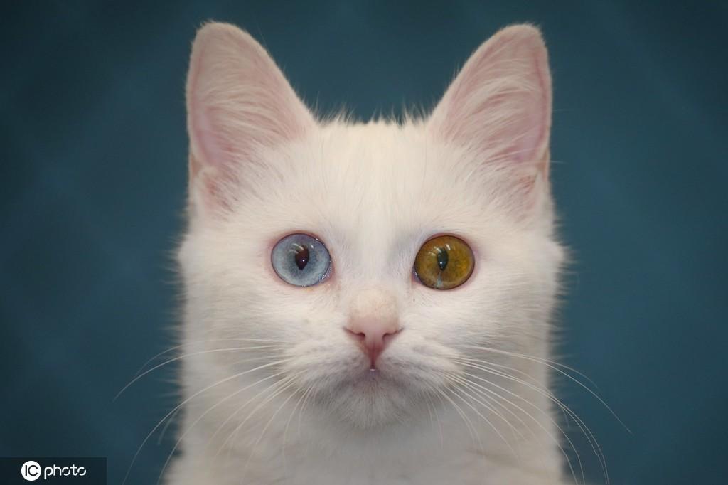 土耳其雪白梵猫双眼异色瞳美呆了将参加喵星人选美大赛