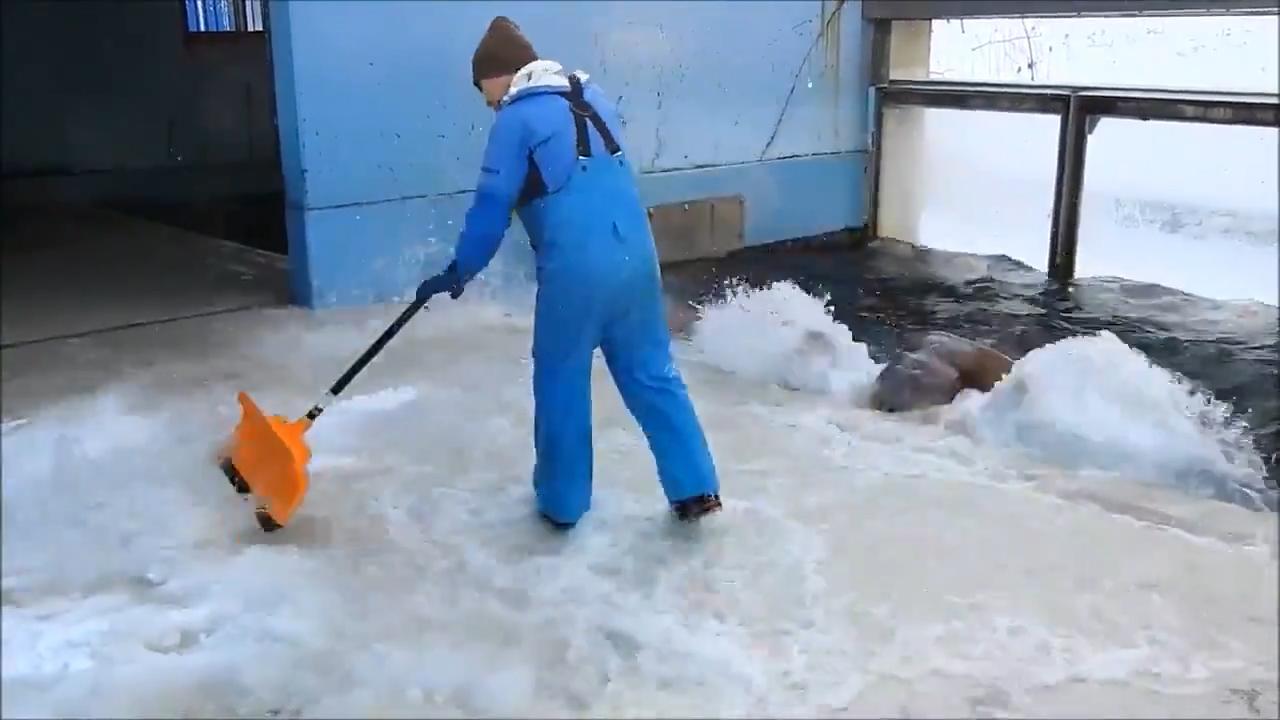 海象从池中泼水帮除雪饲养员:除雪效率提高一倍但人也被淋湿了