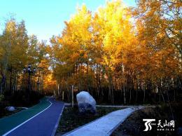 新疆赏秋好去处 阿勒泰市桦林公园美如画