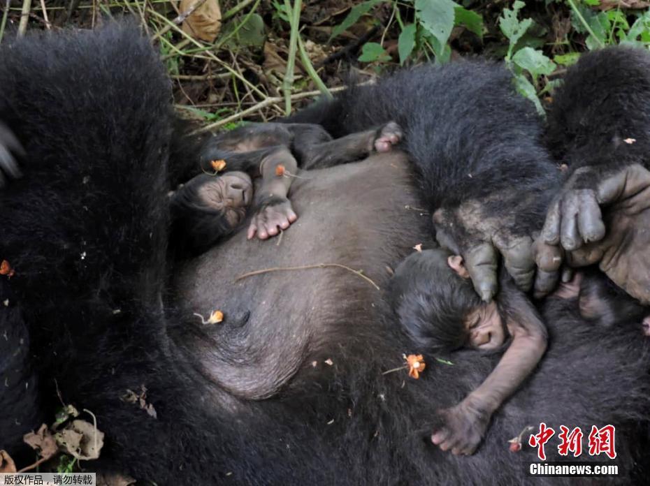 非洲大猩猩生下双胞胎 相拥而眠画面和气