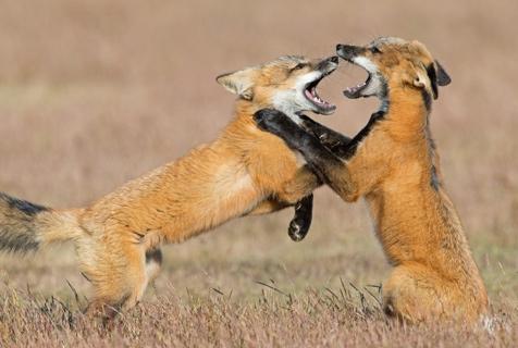 两狐狸幼崽追逐打闹 学习生存技能