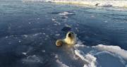 北极熊追逐无人机把冰面顶出一连串冰窟窿