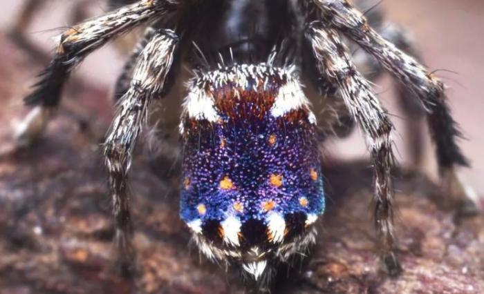 新品种孔雀蜘蛛腹部上的斑斓图案看起来像梵高的《星夜》