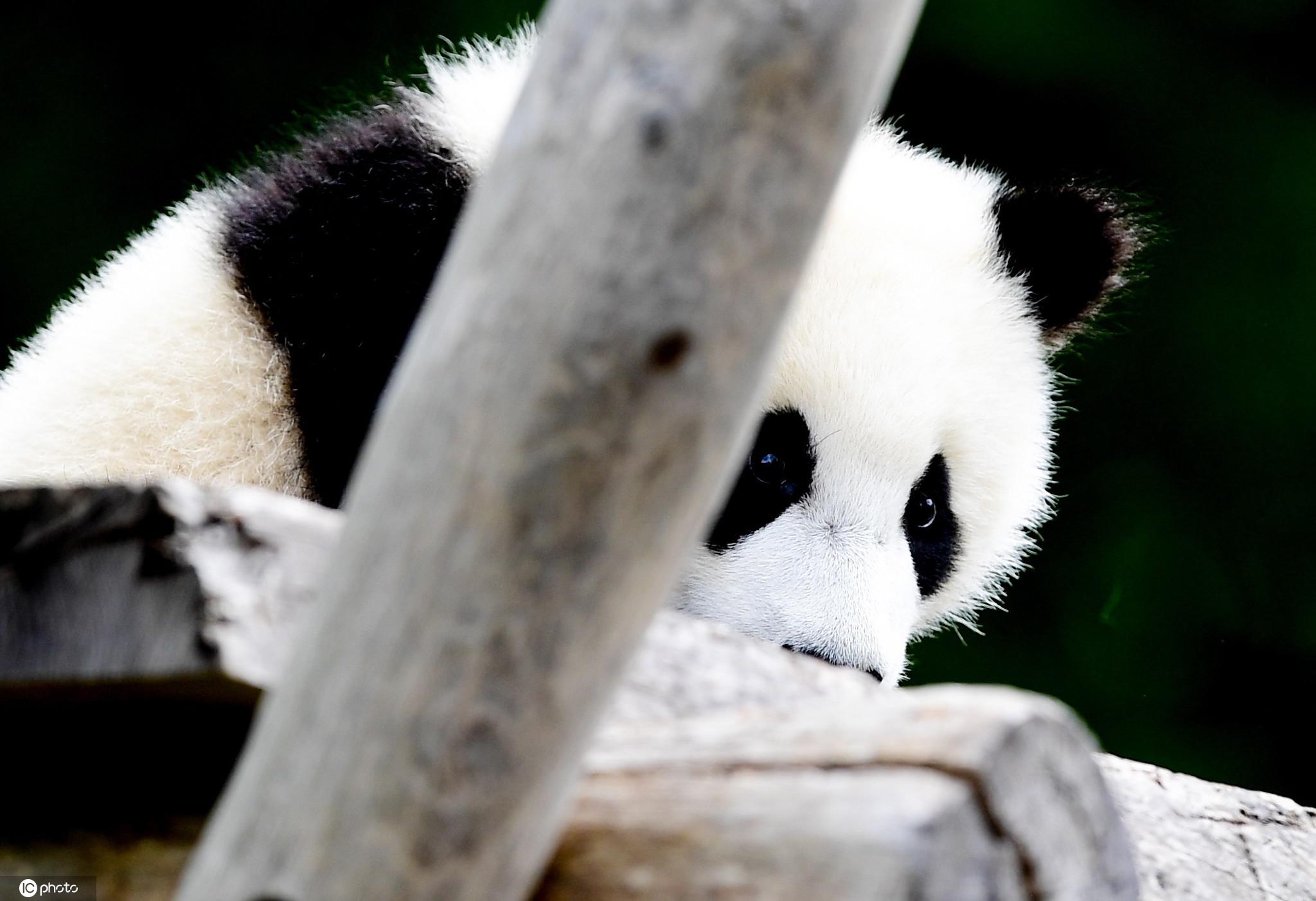 德国柏林动物园日常大熊猫啃竹子趴着不动憨态可掬