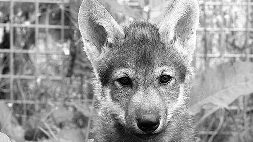 小狼崽也会玩接球游戏 与狼共舞真有戏