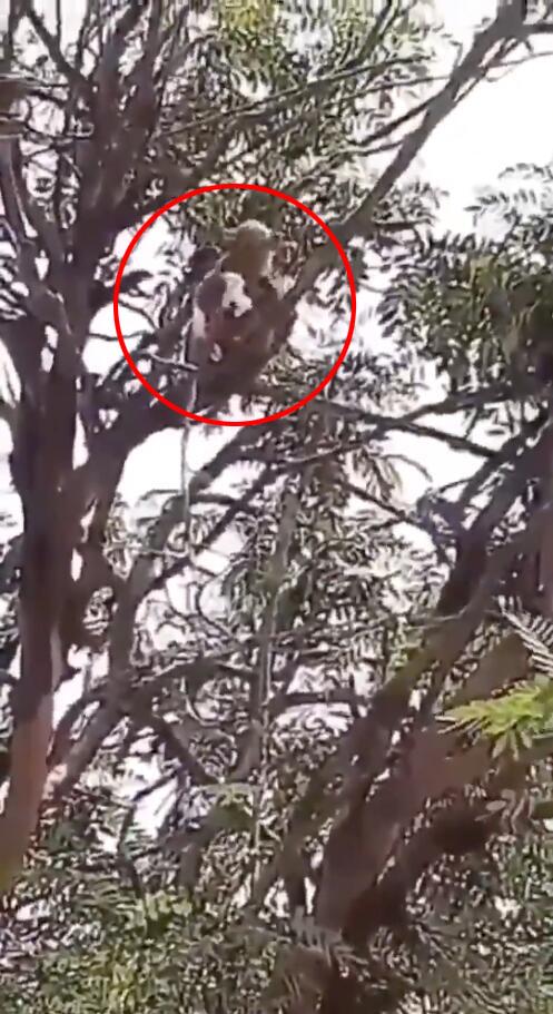 又惹事了!印度猴子袭击工作人员抢走新冠病毒血液样本