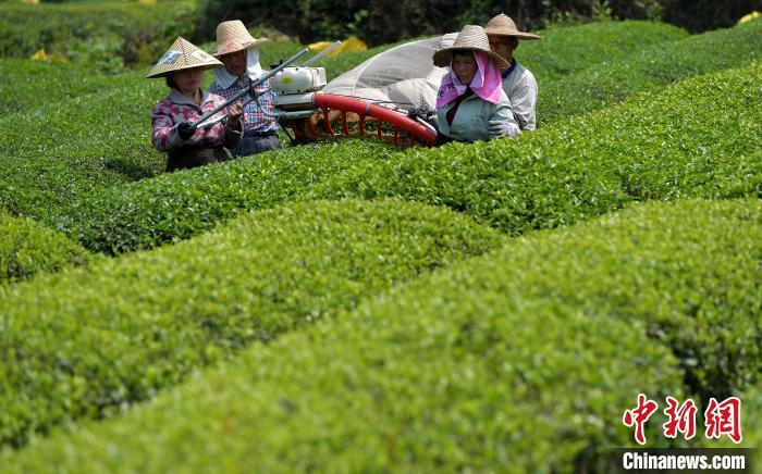 福建三明:台企复工忙制茶