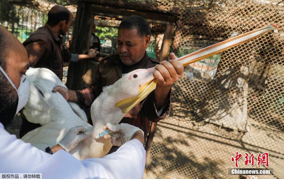 埃及一家动物园因疫情关闭 工作人员给禽类注射疫苗
