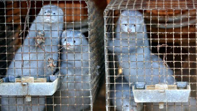 大发:西班牙一农场8成水貂熏染新冠病毒,近10万只将被宰杀 第2张