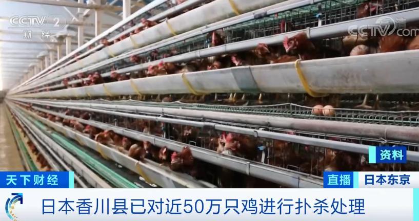 半个月,日本现多起禽流感疫情!近50万只鸡被扑杀!疫情源头或来自于... 第2张