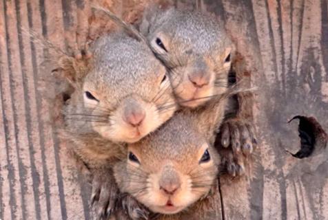 爱抢风头!日本松鼠为了被摄影师拍到挤到头掉