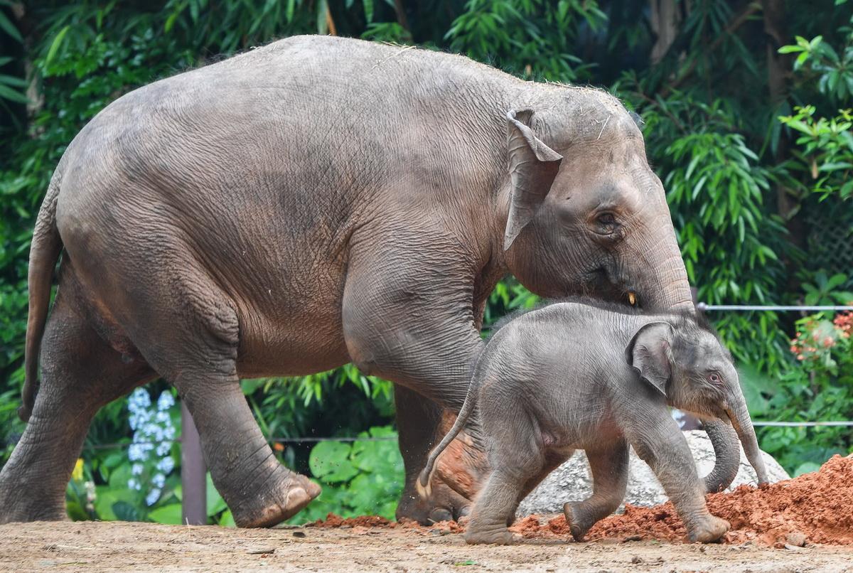 广州:亚洲象家族再添新丁