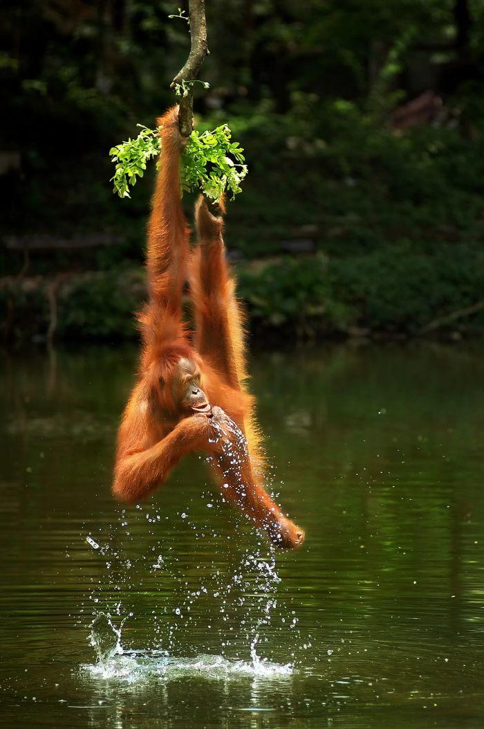 Agora野外摄影比赛结果出炉:猩猩倒挂喝水作品获一等奖