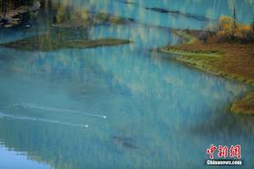 """天鹅栖息新疆喀纳斯湖畔 平静湖面成了天然""""舞台"""""""