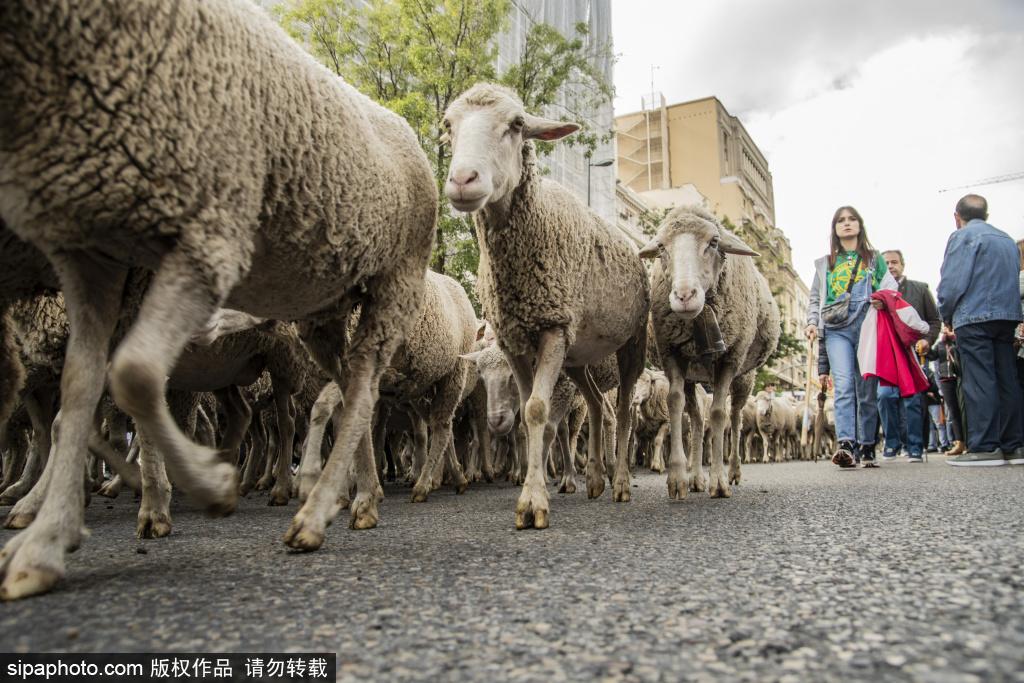 """西班牙马德里举办年度绵羊游行 羊群上街""""遛弯"""""""