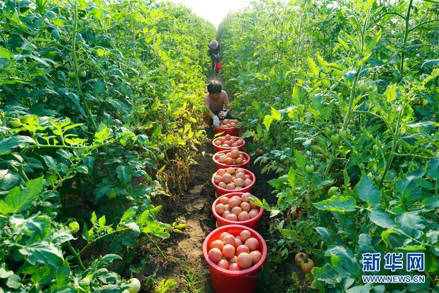 河北滦州:高效装备设施蔬菜种植促增收