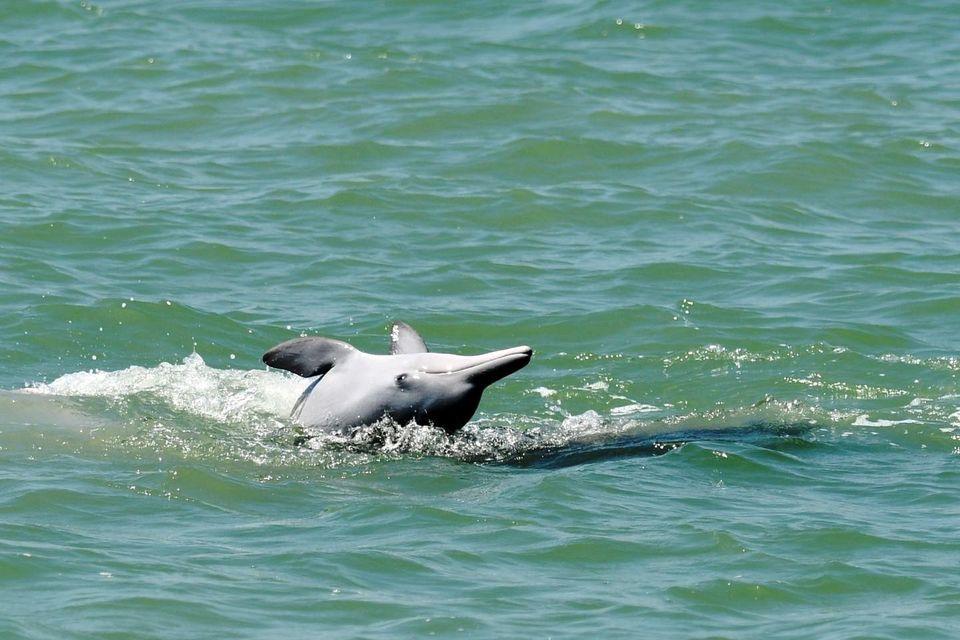 皇冠官网平台:泰国湾海域发现短吻海豚和中华白海豚有数物种 第1张
