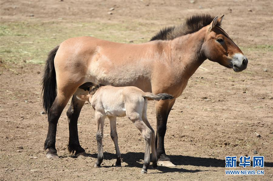 新疆调整普氏野马核心繁殖群 打造优良种源基地