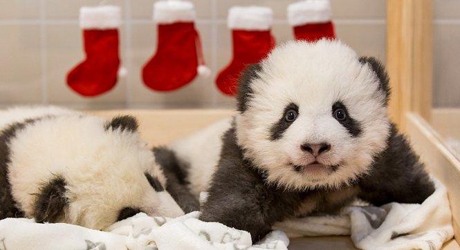 柏林动物园发布旅德大熊猫双胞胎近照 萌态可掬惹人爱