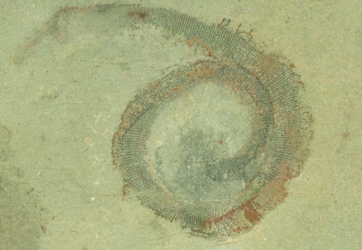 半世纪谜题破解:古老海蠕虫被重新命名定属