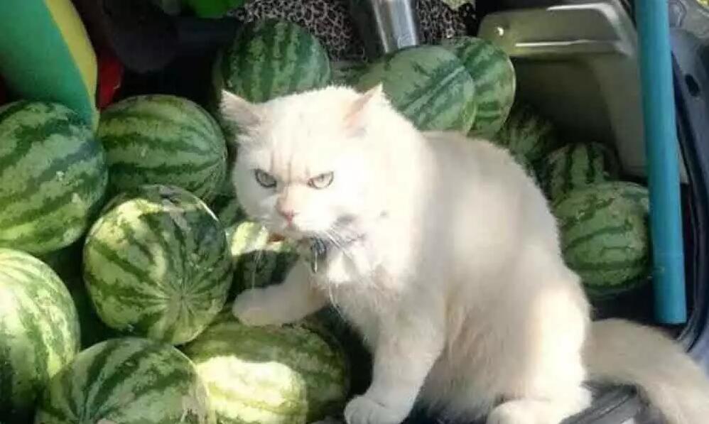 猫咪面露愤怒表情为主人看守西瓜主人:从没见它笑过