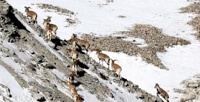 甘肃肃北现成群岩羊嬉戏觅食