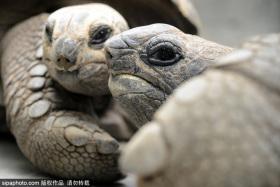 """到南美洲小島探尋""""孤獨的象龜"""""""