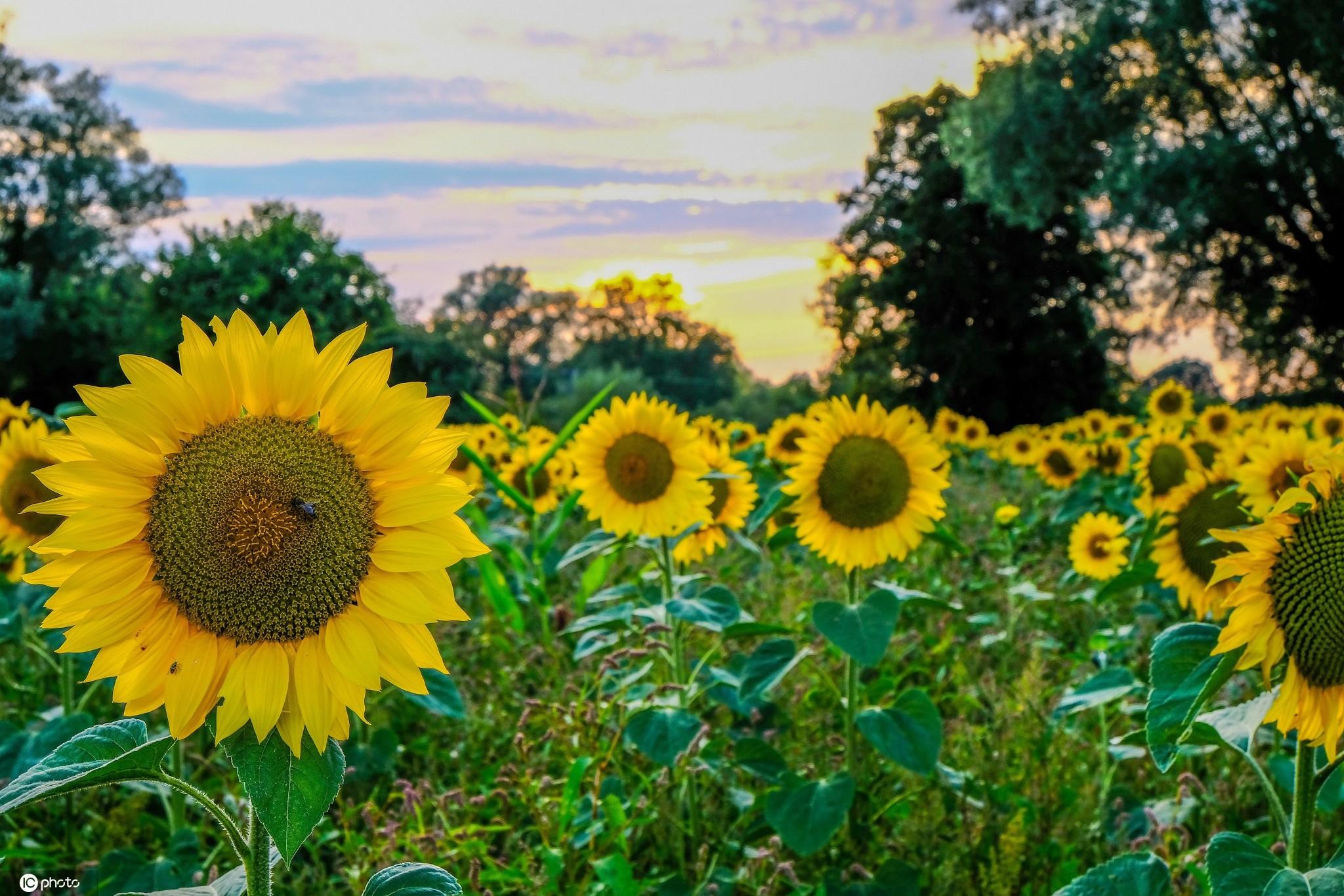 向日葵:心向阳满希望