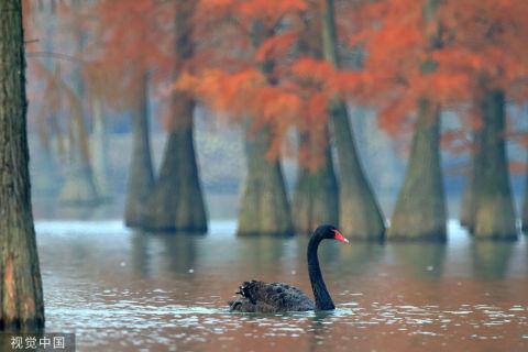 安徽滁州:池杉湖国家湿地公园即景