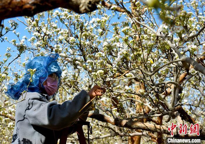 新疆巴州62万亩库尔勒香梨进入人工授粉季