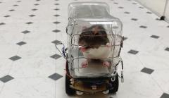 会驾车觅食还能直行转弯!美科学家训练老鼠开车
