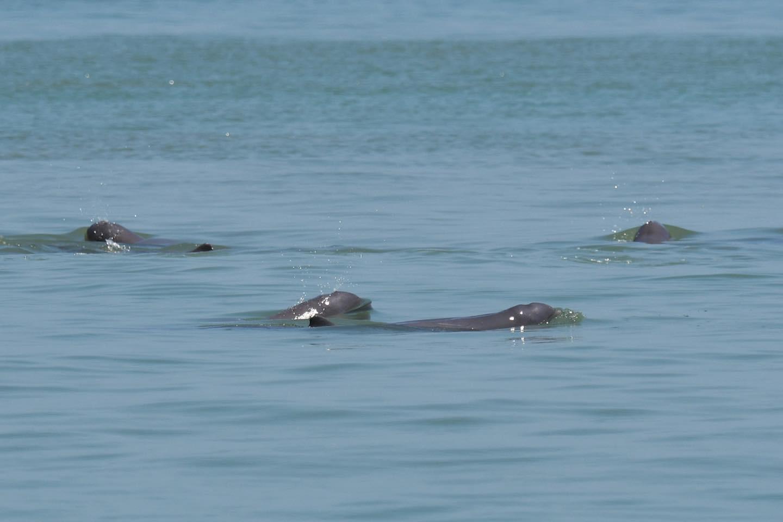 皇冠官网平台:泰国湾海域发现短吻海豚和中华白海豚有数物种 第2张