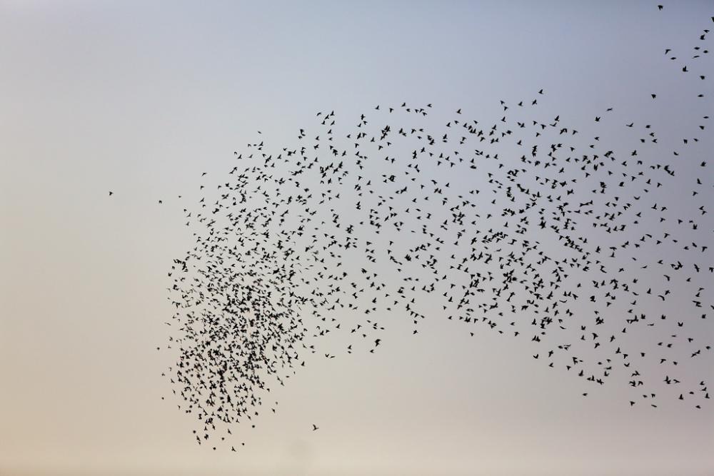 河北邯郸:优化生态引鸟来成千上万只鸟群集盘旋