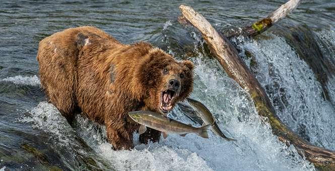 天时地利!阿拉斯加棕熊坐等鲑鱼入口乐享美食