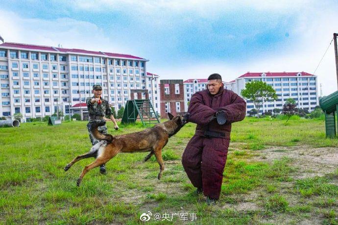 战斗力满满!一组酷图带你看军犬专业训练