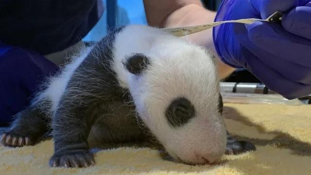 旅美大熊猫美香幼崽体重曝光 性别将在数周后宣布 第1张