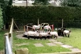 不亦乐乎!英国一群小羊在废弃操场上玩旋转平台