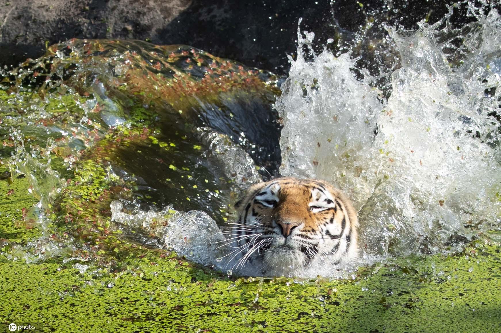 德国夏日炎炎?西伯利亚虎跳水取冰食物降温