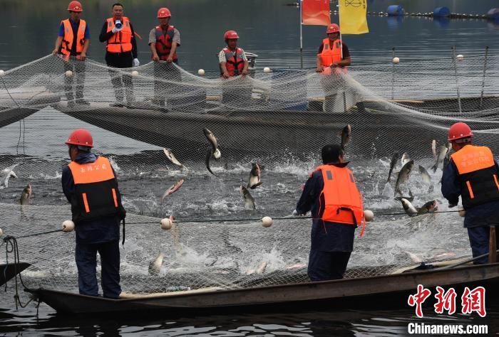 重庆玉滩水库第一网捕鱼2.7万斤 鱼王重达41斤