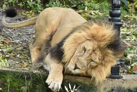 万兽之王也有呆萌一面!英狮子磨蹭柱子萌态十足