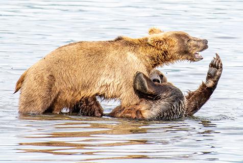"""美国两棕熊化身""""摔跤手""""水中上演激烈对决"""