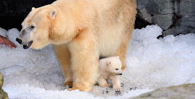 丹麦北极熊宝宝首次走出洞穴好奇探索世界与母亲玩耍太萌了!