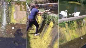 暖男!爱尔兰一男子跳进排水渠营救小天鹅