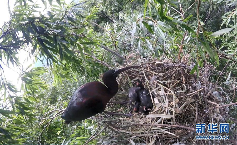 云南大理首次记录到珍稀物种彩鹮自然繁殖