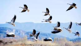 大批南迁候鸟抵达内蒙古乌梁素海湿地