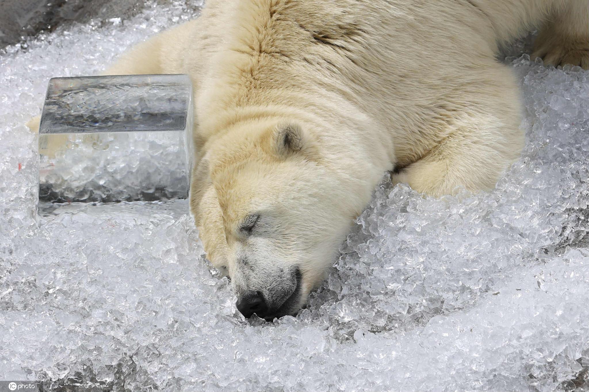 太萌了!日本夏日热浪滚滚北极熊撅屁股躺冰上降温
