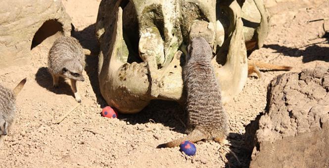 英国动物园猫鼬过复活节?把玩新鲜彩蛋