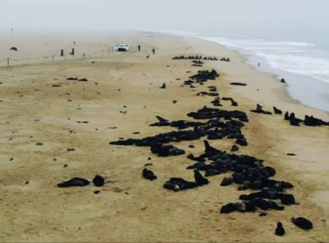 纳米比亚海岸惊现7000多具海豹遗体,大量幼崽胎死腹中 第1张