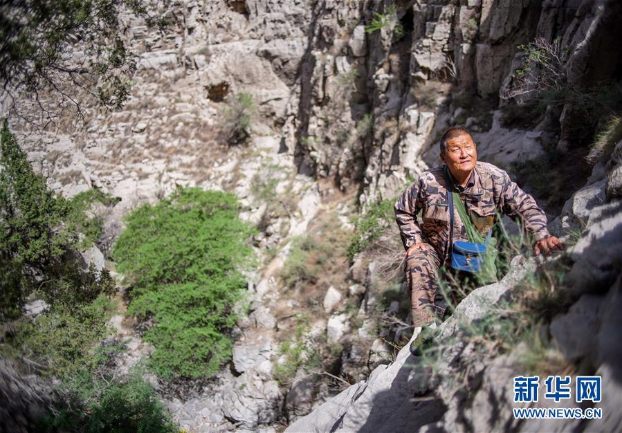 """""""岩羊爸爸"""":在悬崖峭壁间守护山中精灵"""