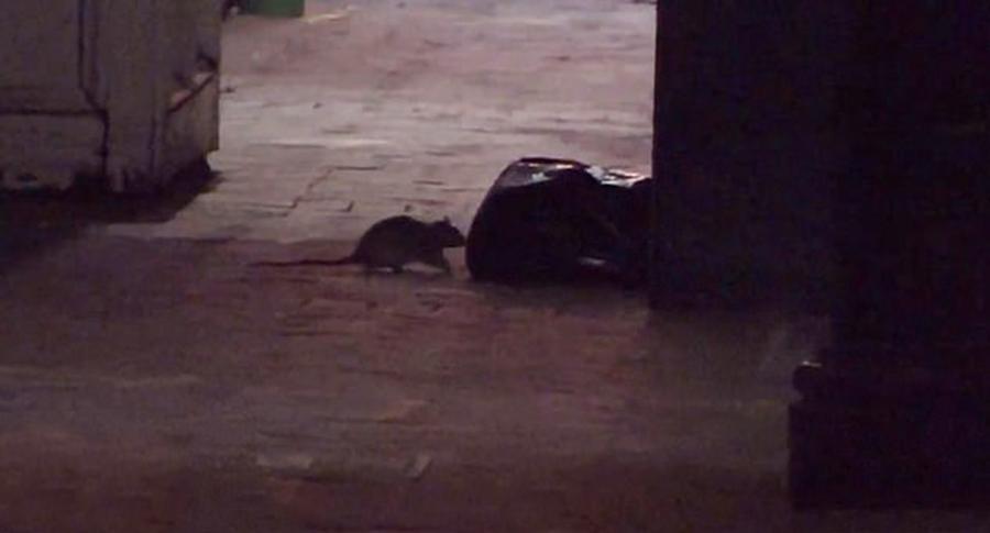 """美国新奥尔良市空荡街道被饥饿老鼠群""""占领"""""""